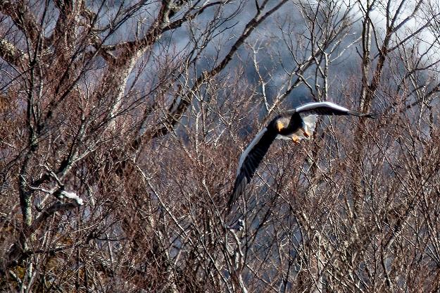 冬枯れを背景に飛びだすオオワシ