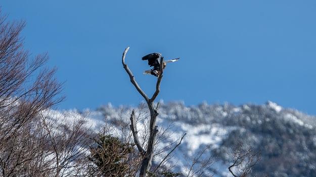 男体山を背景に飛び出す7オオワシ