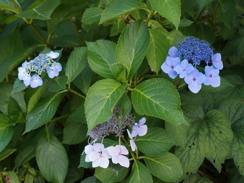 駒ケ根の紫陽花