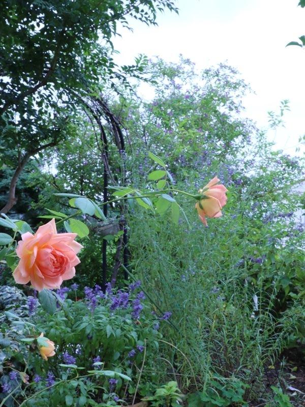 9月の庭花薔薇レディオブシャーロットとセージいろいろ