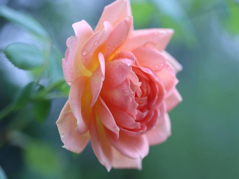 薔薇 レディオブシャーロット