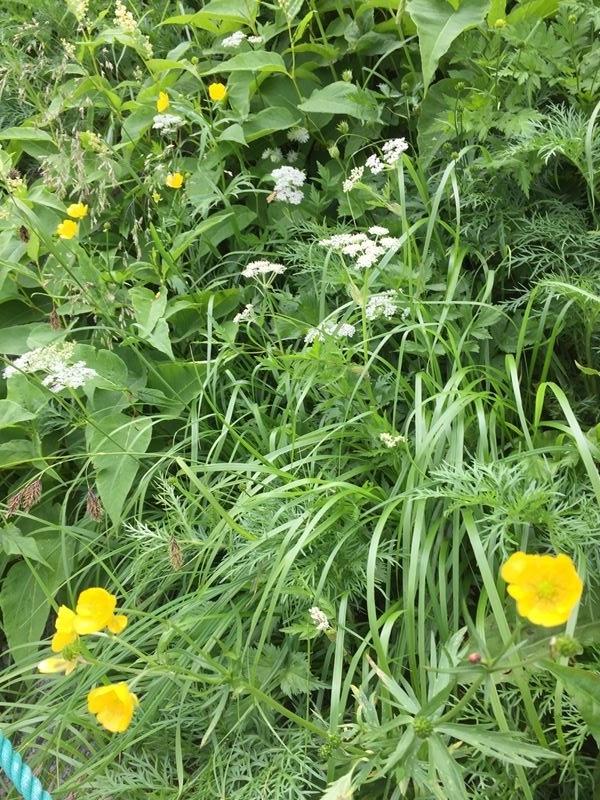 千畳敷カールの花たち