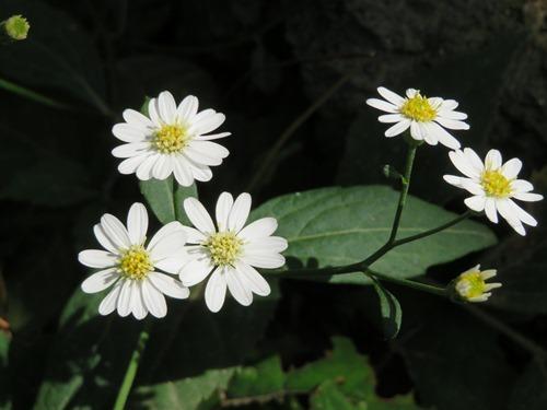 シロヨメナ