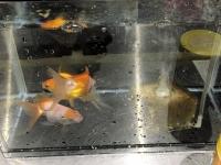 金魚レスキュー