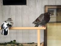 岡山からきたハトたち