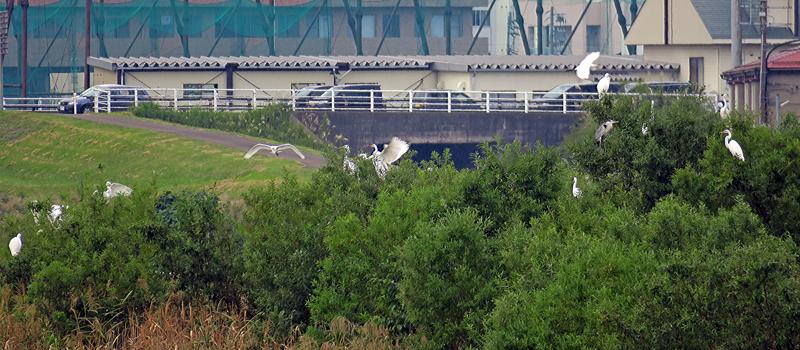 関川の水鳥