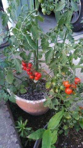 家庭菜園 とまと
