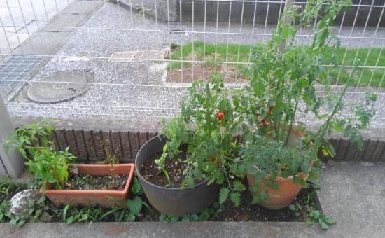 家庭菜園 とまと 唐辛子 ししとう みょうが