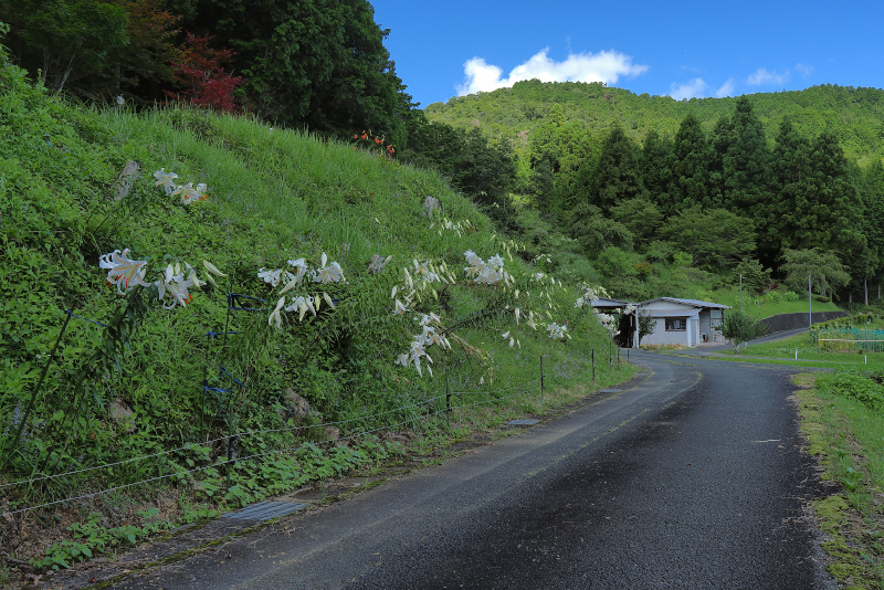 yamayuri006.jpg