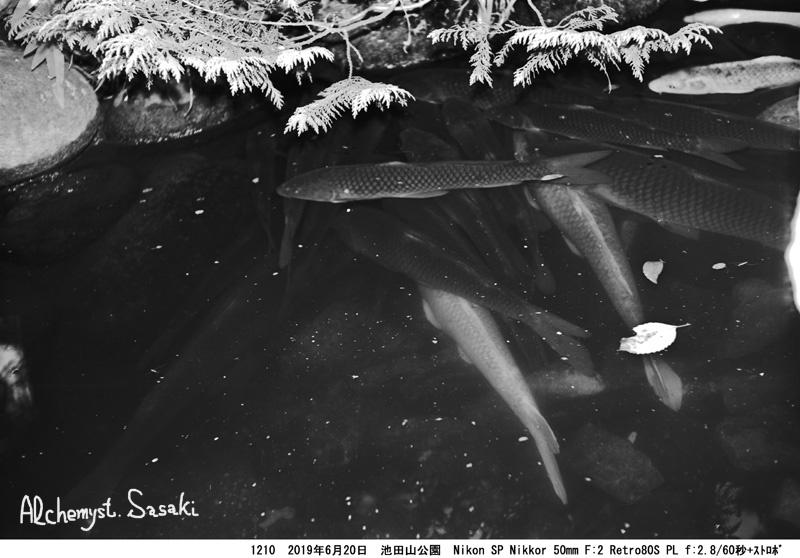 池田山公園の鯉1210-41