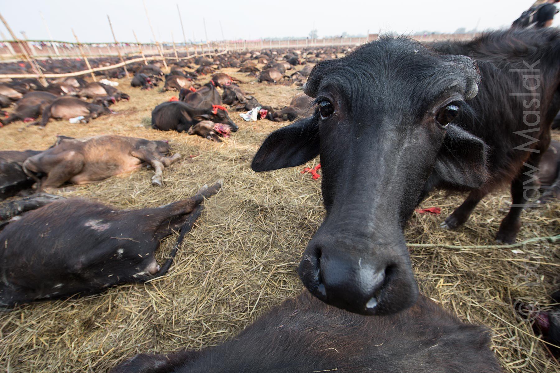 nepalgadhimai5.jpg