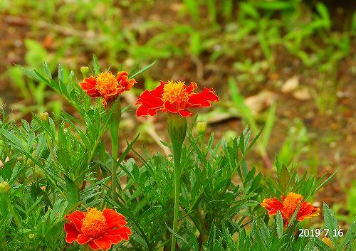 s-オレンジの花20190716