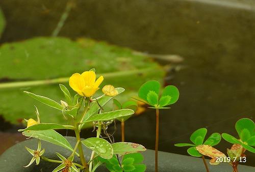 s-黄色の花20190713