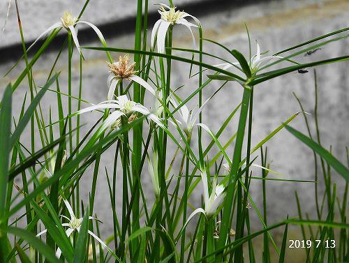 s-白い植物20190713