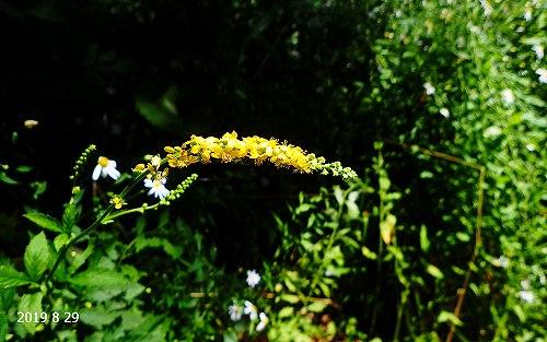 s-黄色の花②20190829