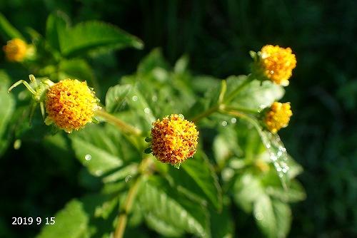 s-黄色の花20190915
