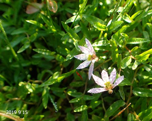 s-五弁の花2010915