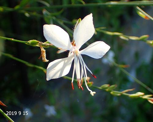 s-白い花20190915