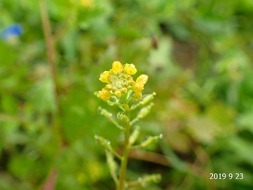 s-黄色の花20190923