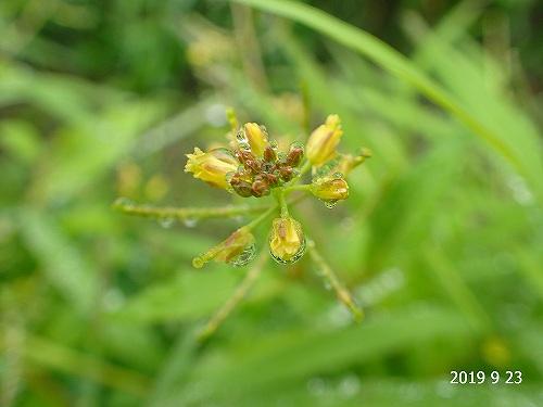 s-黄色の花②20190923