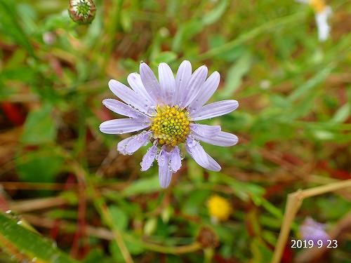 s-紫の花20190923
