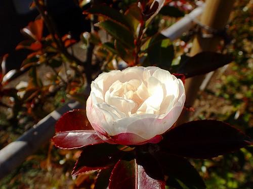 s-山茶花②2020120