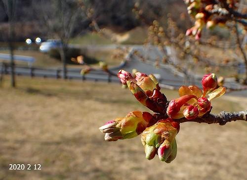s-桜の蕾20200212