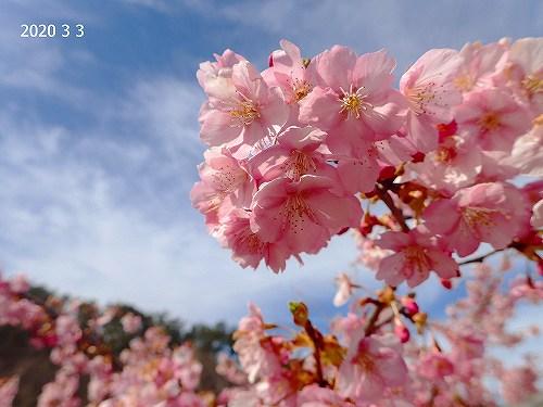 s-河津桜20200303