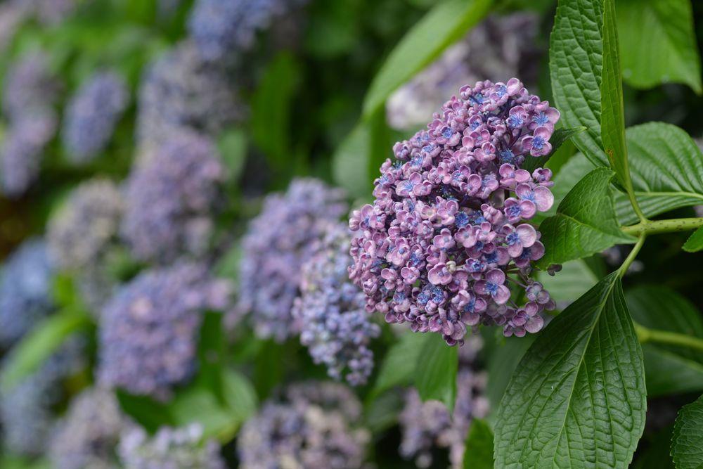 紫陽花-6