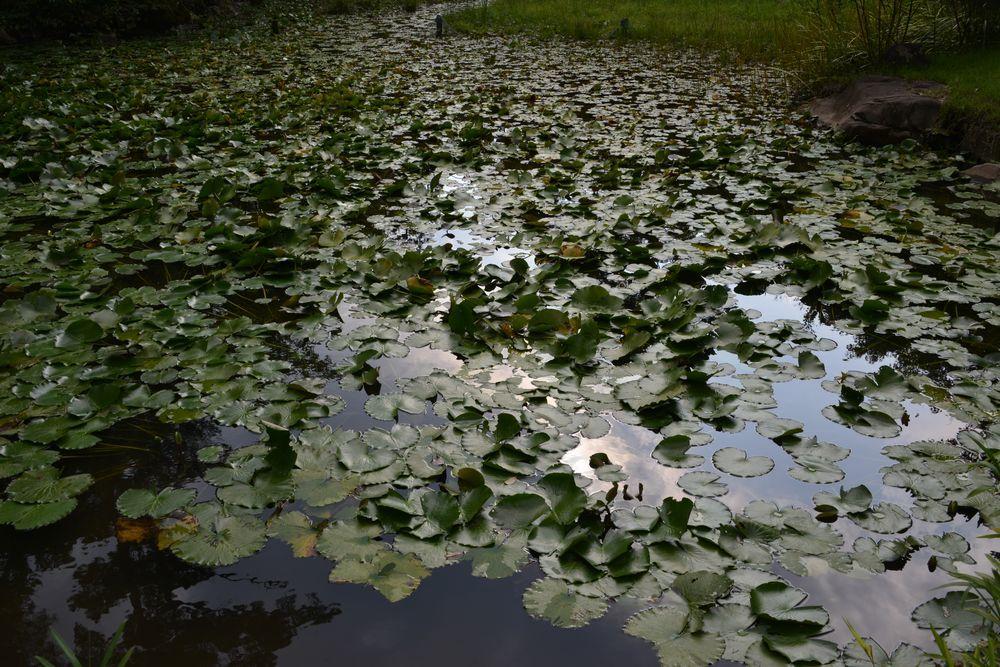 蓮の池-1