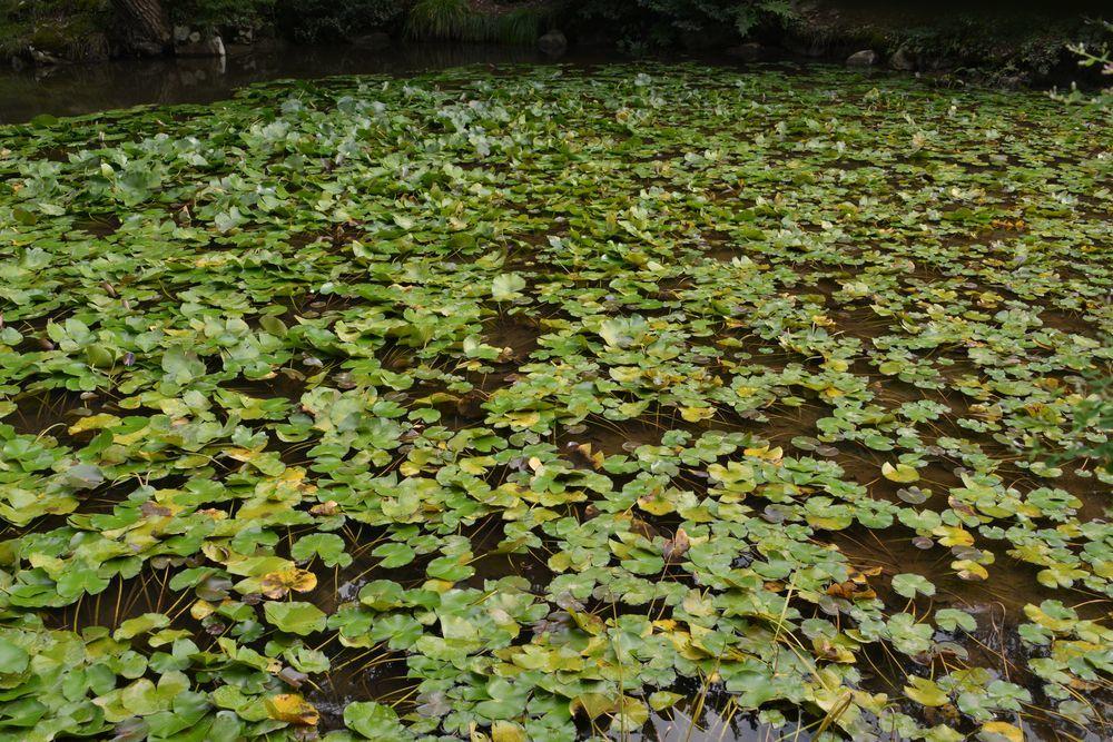 蓮の池-3