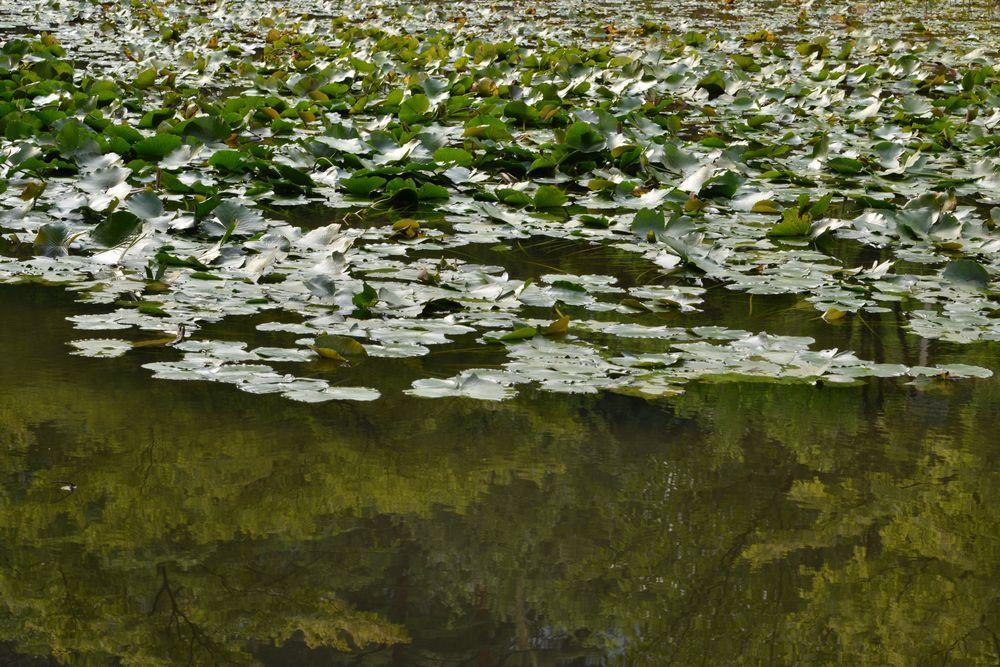 蓮の池-5