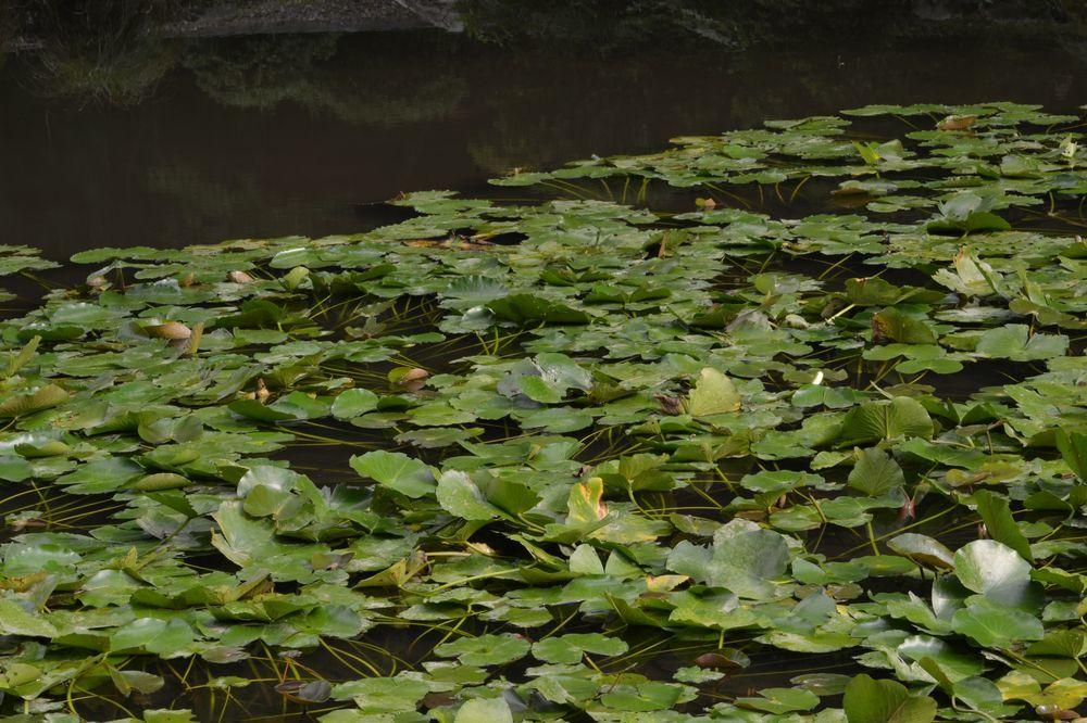 蓮の池-4