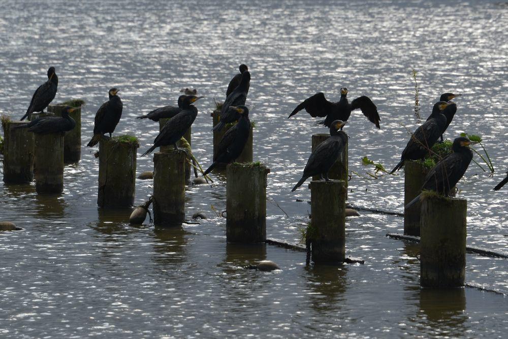 福島潟の鳥-3