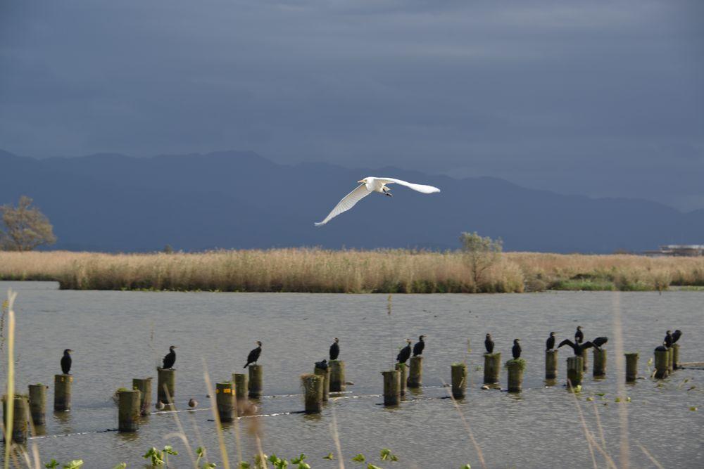 福島潟の鳥-5