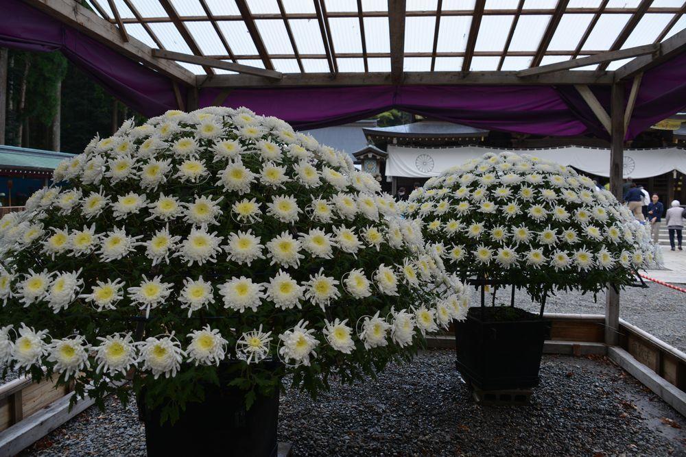 菊祭り 大菊-1