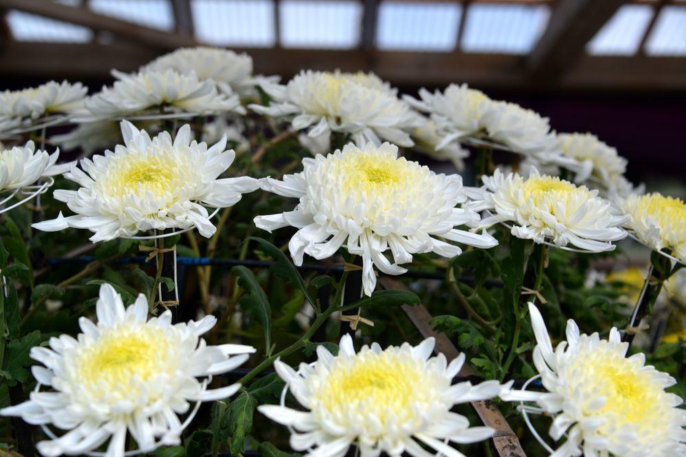 菊祭り 大菊-5