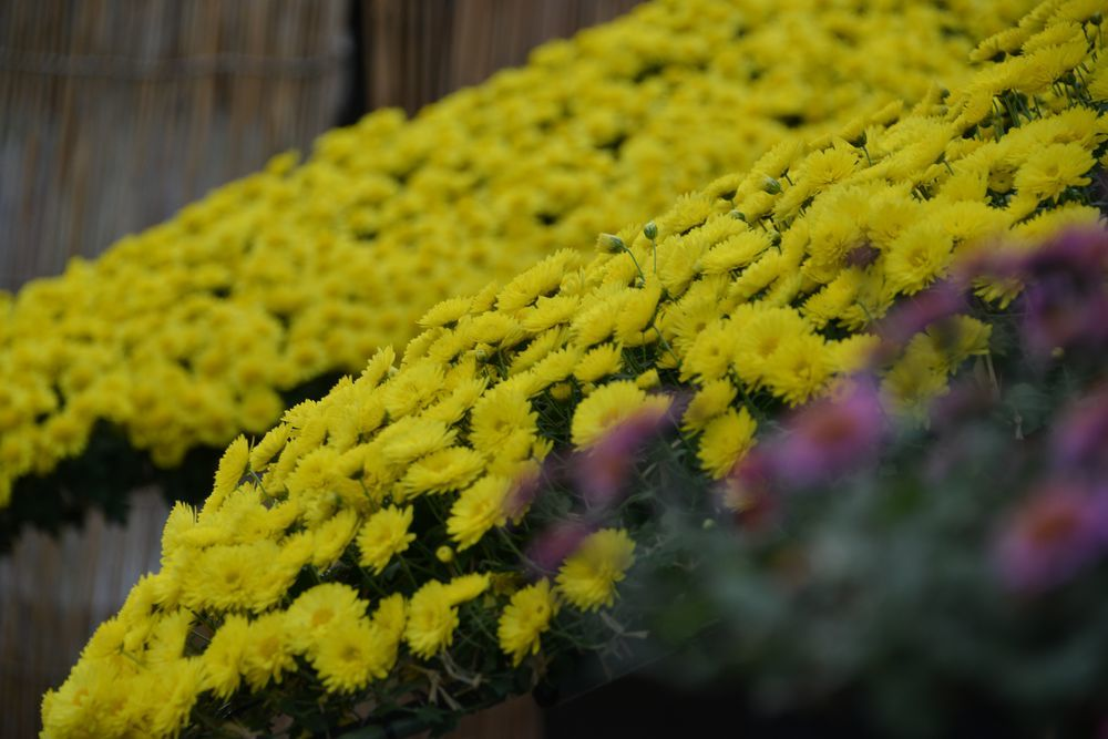 黄色い菊-1
