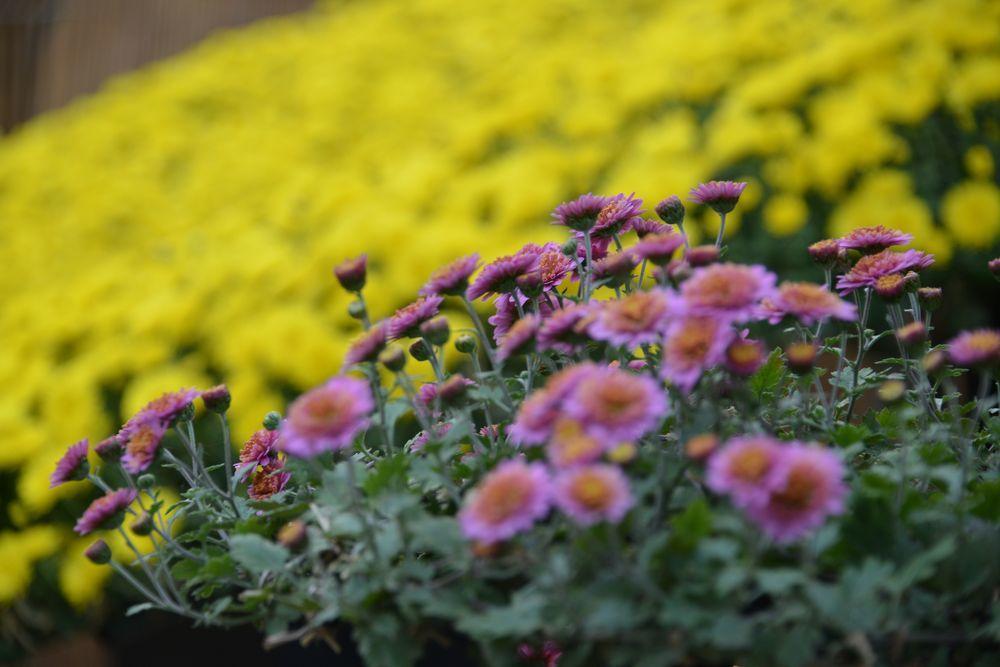 黄色い菊-2
