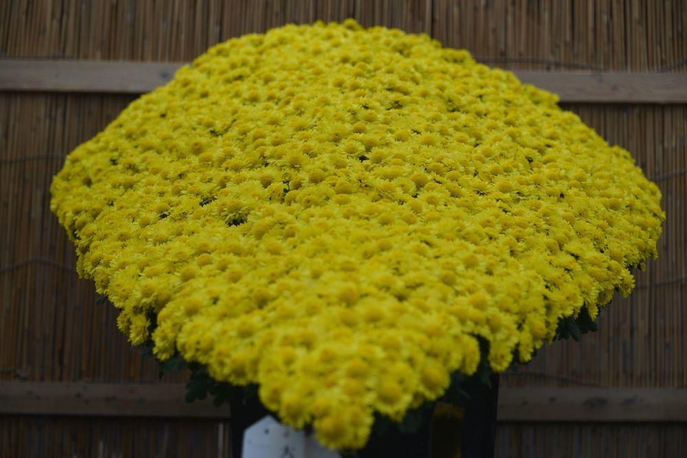 黄色い菊-3