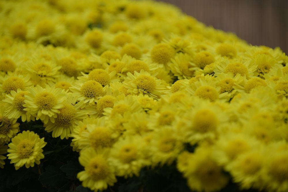 黄色い菊-4