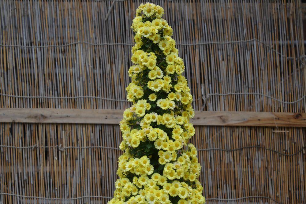黄色い菊-5