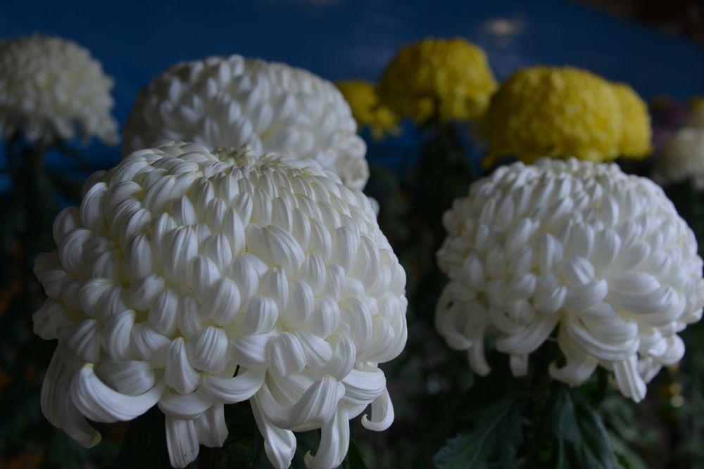 菊たち-1