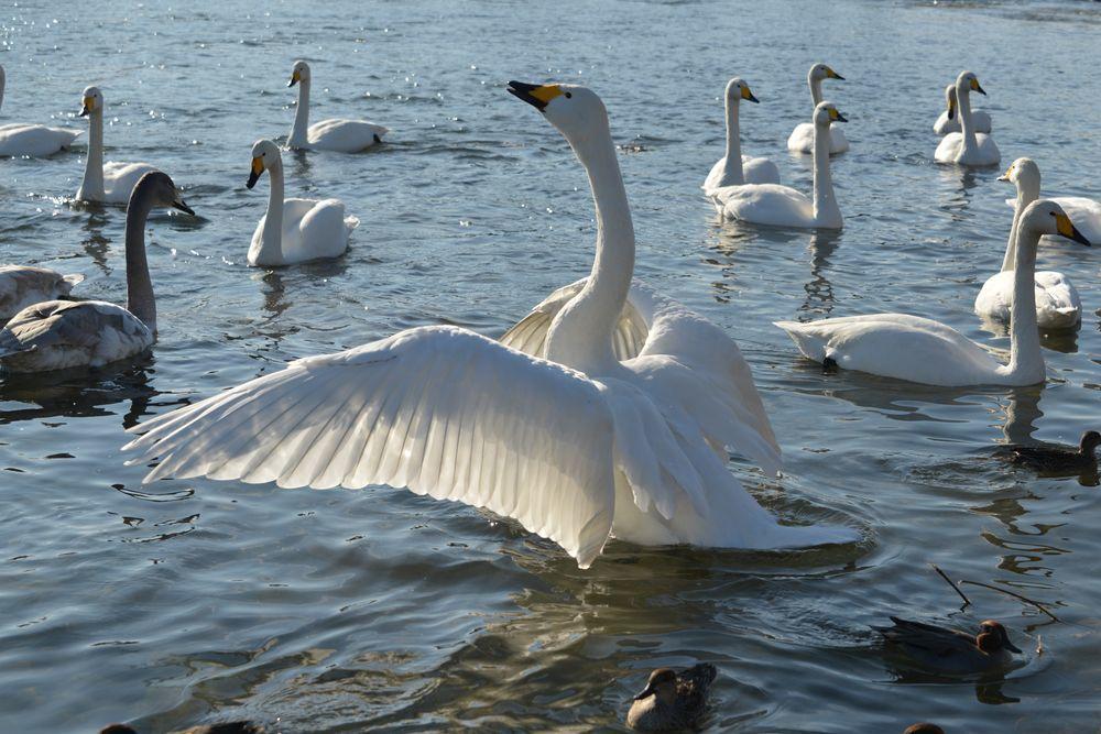 白鳥の郷-7