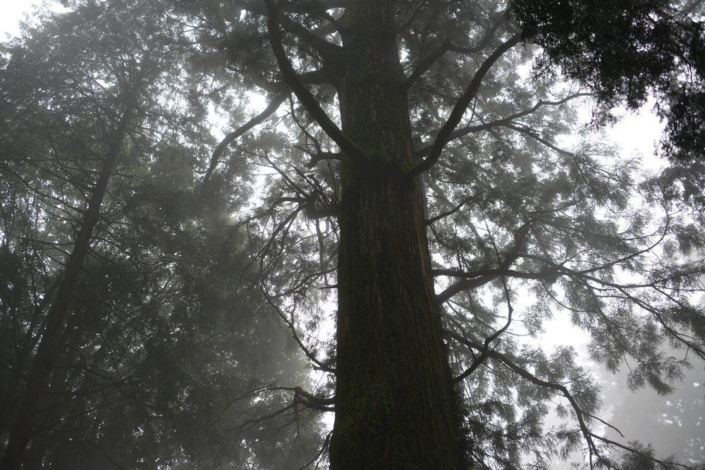 村山浅間神社の樹-3