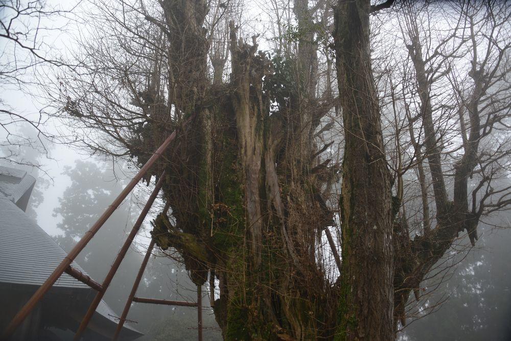 村山浅間神社の樹-4