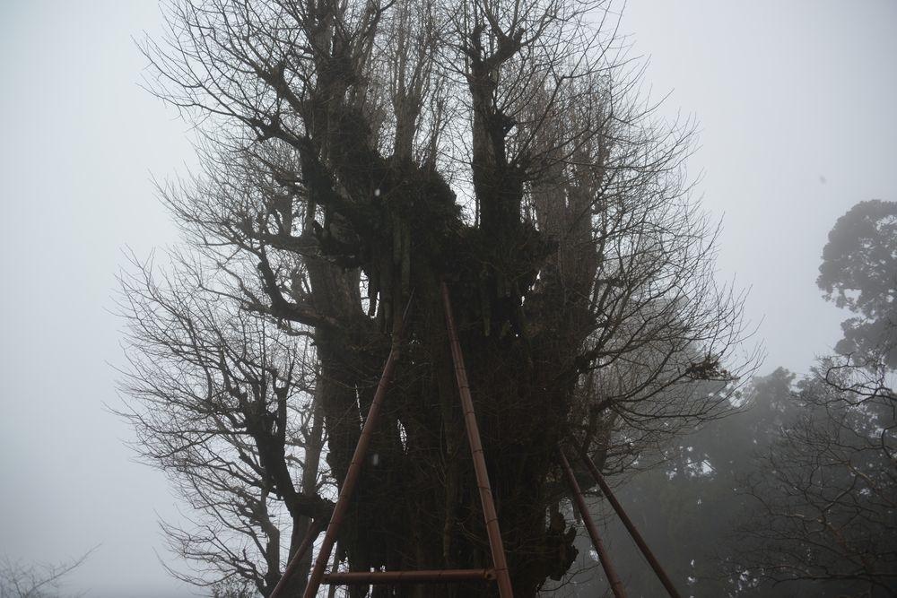 村山浅間神社の樹-5