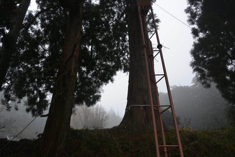 村山浅間神社の樹-6