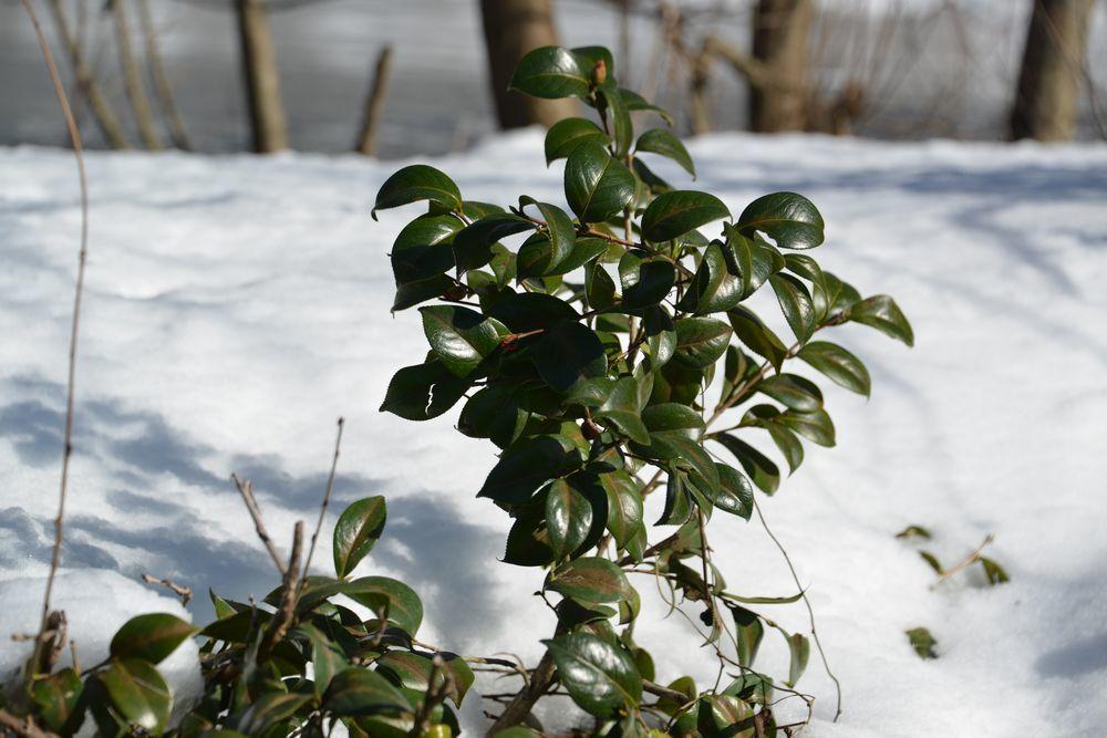 里山の雪-9