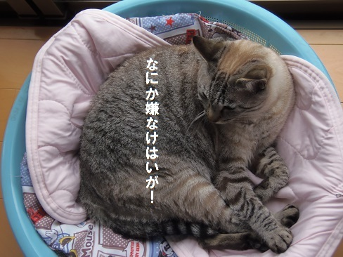 貧乏性な猫3